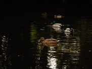Ses canards